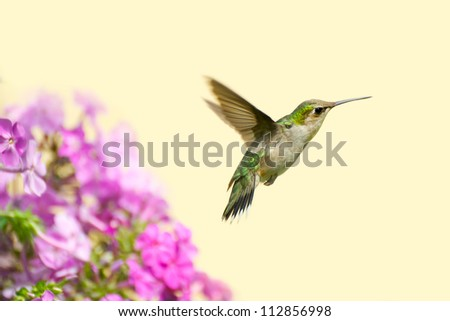 A  ruby throated hummingbird (archilochus colubris) , juvenile male in motion in the garden on a summer day with copy space. - stock photo