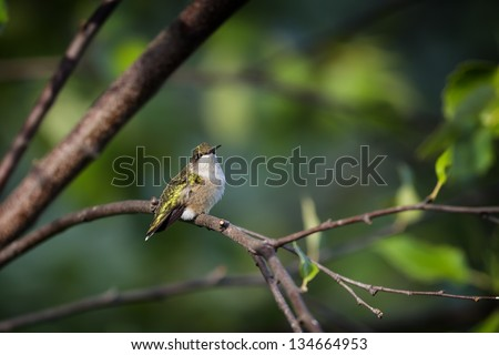 A Ruby-throated Hummingbird perched on a tree branch.