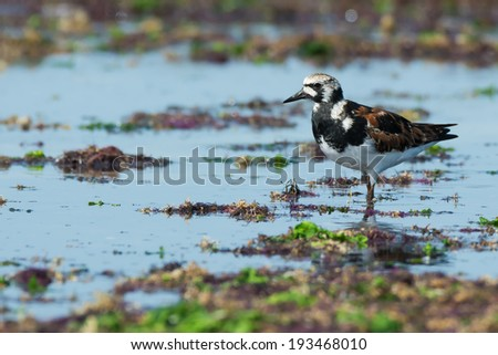 A Ruddy Turnstone (Arenaria interpres) surveying the beach covered with seaweed - stock photo