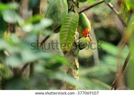 A rufous treepie bird eats papaya fruit in a jungle