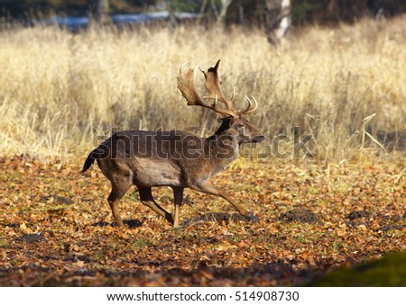 A running male of fallow deer