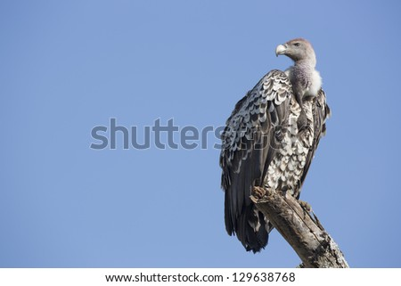 A Ruppell's vulture (Gyps rueppellii) perched on a branch in the Ndutu area of the Ngorongoro Conservation area, Tanzania - stock photo