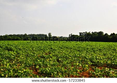 A rural farm lush sprawling soybean field - stock photo