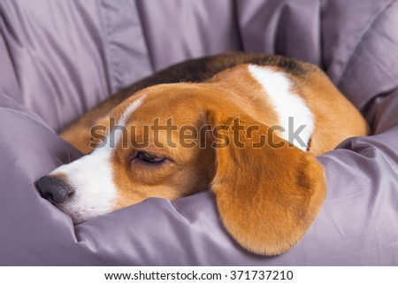 A sad beagle lying on a soft chair