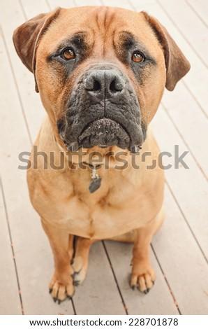 A sad bull mastiff dog sitting on a patio. - stock photo