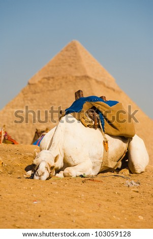 A sad lazy camel is sprawled out on the sand in front of the pyramids of Giza in Cairo, Egypt - stock photo