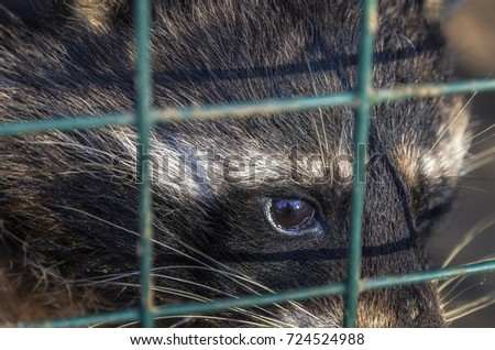 A sad raccoon, living in a cage in a zoo