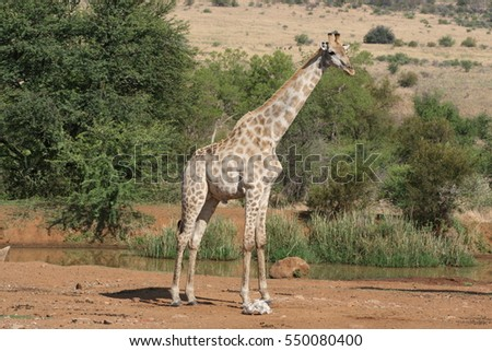 A safari landscape of a giraffe standing in front of a natural watering hole in the African wilderness in Pilanesberg Game Reserve, South Africa.