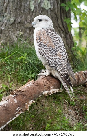 A Saker Falcon (Falco cherrug) sitting on a branch in a wooded area.