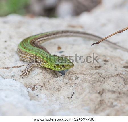 a sand green lizard in the nature - stock photo