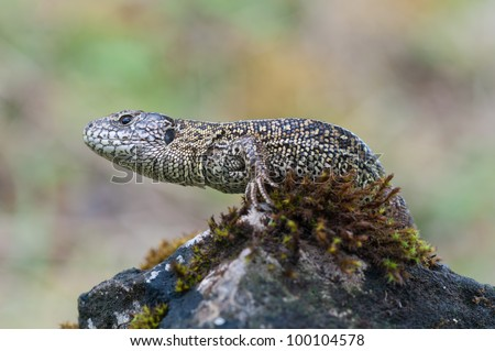 a sand lizard in the nature