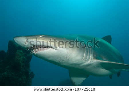 A sand tiger shark swimming close to the reef of Sodwana Bay. - stock photo