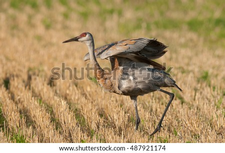 A sandhill crane, grus canadensis, runs across a harvested grain field
