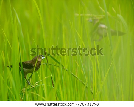 A scaly munia finch reacts to the presence of another bird in a rice field in eastern Thailand