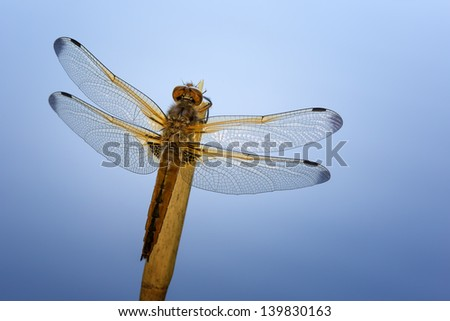 A Scarce chaser (Libellula fulva) with a beautiful blue background