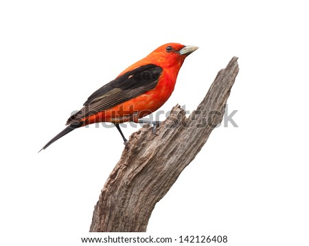 A scarlet tanager proudly perched on a dead branch. Brilliant red plumage with  midnight black wings. Songbird's profile follows the curve of the branch.  White background.