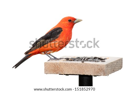 A scarlet tanager sits on a sunflower seed feeder.  The bird's orange plumage contrasts against its midnight black wings. The songbird is positioned with its head toward the seed.  White background.