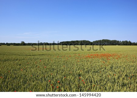 a scenic agricultural landscape with green wheat and red poppies under a clear blue sky in england - stock photo