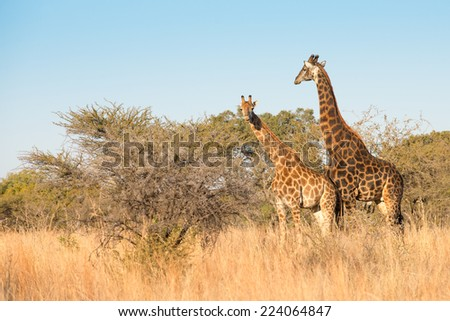A scenic view of a pair of giraffes in a thorn tree scene