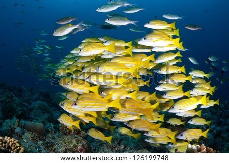 A school of Blue lined snapper (Lutjanus kasmira) swims together at Blue Corner, a famous dive site in the Republic of Palau.  Palau's reefs are famous for sharks and fish. - stock photo