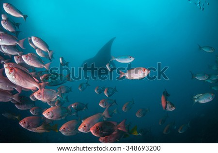 A school of crescent tail big eye fish accompanied by a manta ray