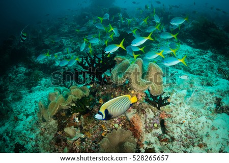 A school of fish and an emperor angelfish
