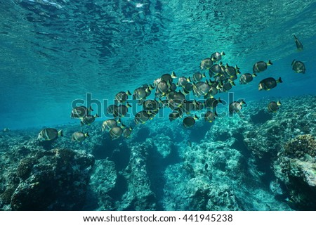 A school of fish whitespotted surgeonfish, Acanthurus guttatus, on the fore reef of Huahine island, Pacific ocean, French Polynesia - stock photo