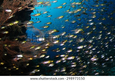 A school of glassfish is swimming in a cavern with a coral and blue water in a background, Maldives