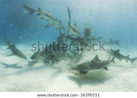 A school of lemon sharks (Negaprion brevirostris) stir up the white bottom as they scavenge for their share of food. - stock photo