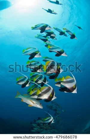 A school of pennant coral fish swimming peacefully in the Indian Ocean