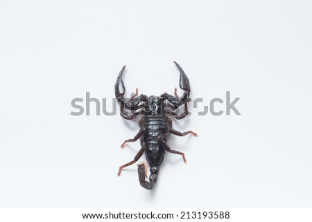 A scorpion young / Scorpion with white background / Newly molted scorpion / 1 year old baby scorpion / Small scorpion / Clean scorpion - stock photo
