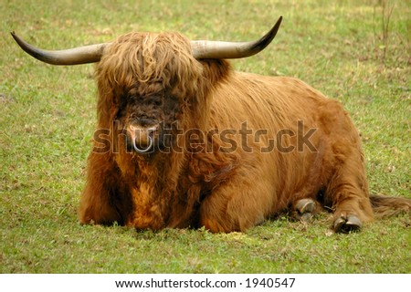 A Scottish Highland bull, resting in his pasture. Known as the 'Hairy coo' in Scotland. - stock photo