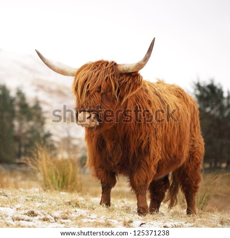 scottish highland cattle snow  Scottish Highland Cow on a