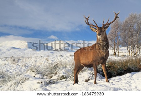 A Scottish Red Deer Stag standing proudly on a snow covered Rannoch Moor winter landscape, with the Blackmount mountain range in the distance - stock photo