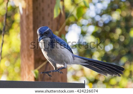A scrub jay jumps up from it's perch on an early summer evening - stock photo