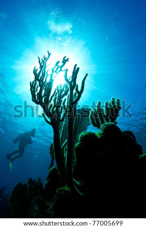 A scuba diver hovers in the waters of Honduras whilst looking at the coral. - stock photo