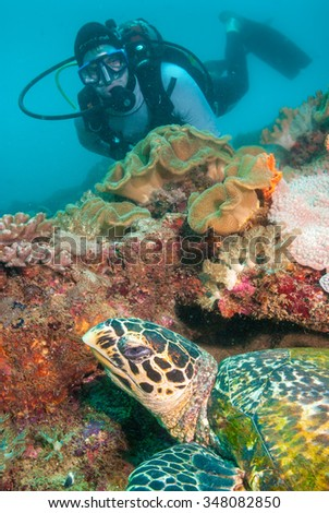 A SCUBA diver making eye contact with an inquisitive hawksbill sea turtle
