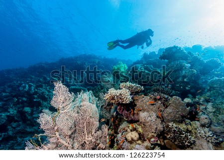 A SCUBA diver swims over a gorgonian fan on a coral reef - stock photo