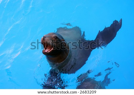A sea lion comes up for food. - stock photo