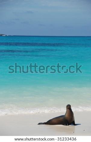 A sea lion poses on the beach on Espanola, Galapagos - stock photo