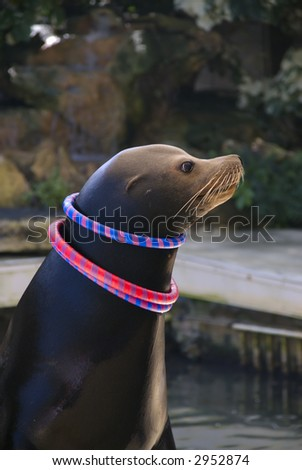 A sea lion with colorful rings around it's neck