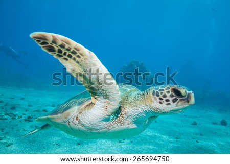 A sea turtle gracefully swims by the underwater camera in Hawaii's clear blue water - stock photo