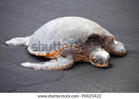 A sea turtle on a black sand beach - stock photo