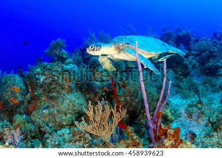 A sea turtle on a tropical coral reef
