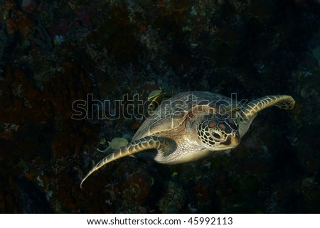 a sea turtle swimming friendly and close at Bunaken, Manado, Indonesia - stock photo