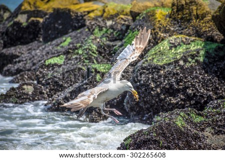 A seagull captures a small crab for dinner in  Spring Lake along the Jersey shore. - stock photo