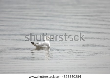 A seagull floats on the water  at a lake in Coeur d'Alene, Idaho