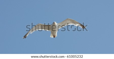 A Seagull Flying in a Clear Blue Sky.