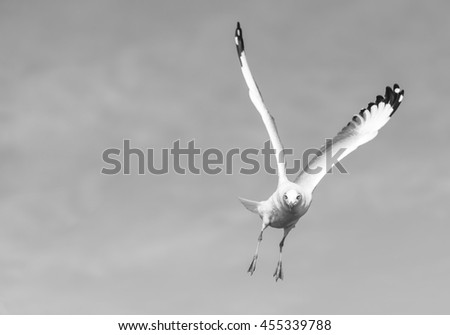A Seagull is Flying High Search for Food from Above in Black and White Tone for Nature Backgrounds. - stock photo