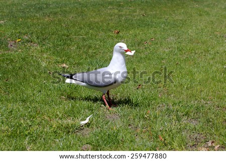 A seagull on a lawn with some bread in its beak - stock photo